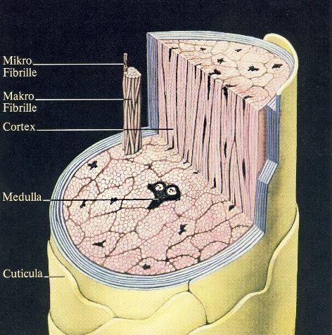 Мозговое вещество волоса