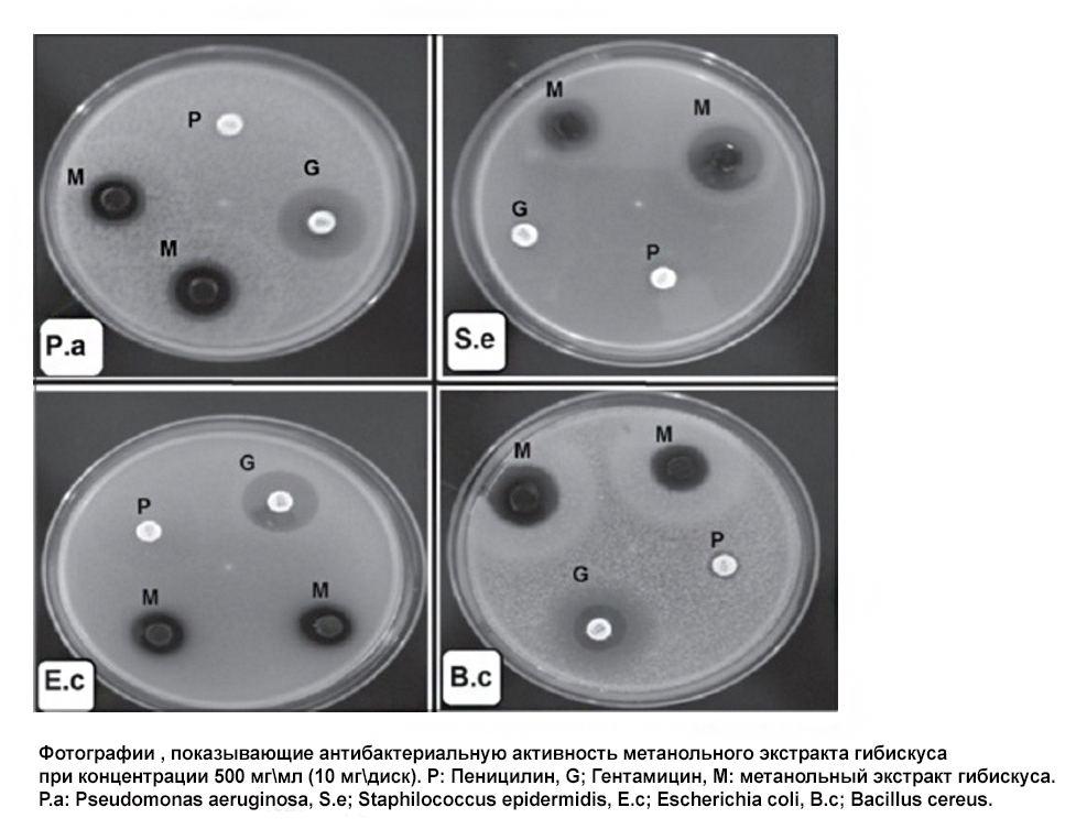 Антибактериальное действие гибискуса